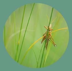 cricket_chorus